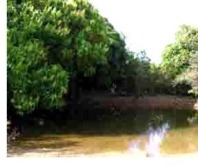 manguier1.jpg